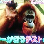 インディアナポリス動物園の天才オランウータン!ロッキーは人の言葉を理解?【ニチファミ仰天こんなトコあったんだ】